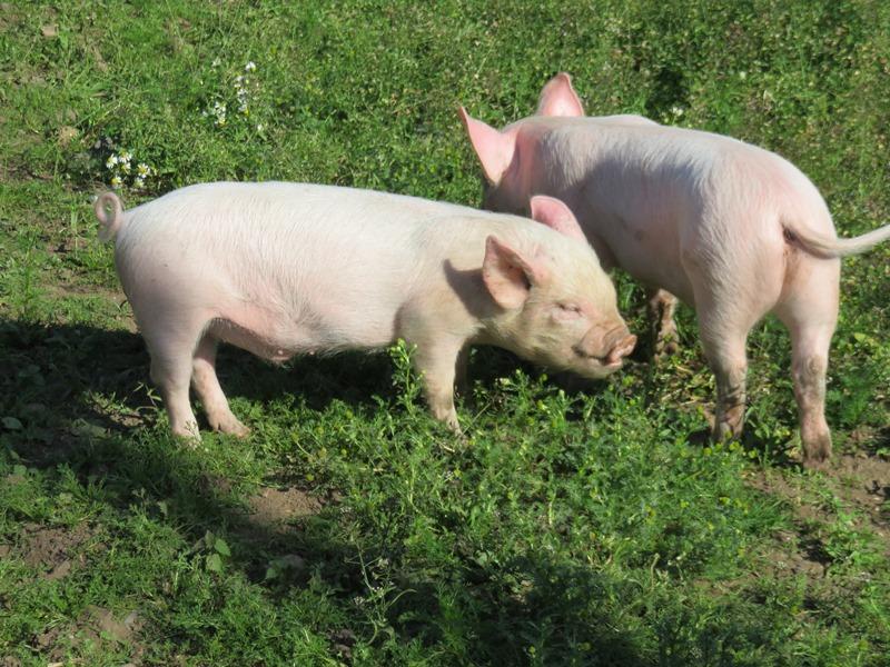 ブラックカントリー生活博物館の子豚