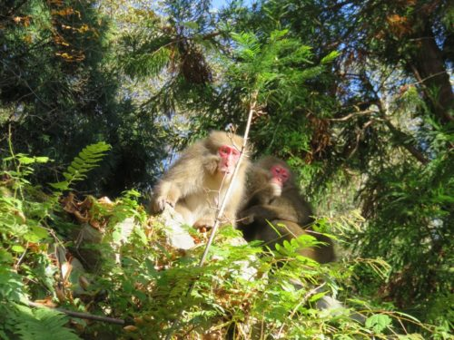 雲取山の野生の猿