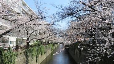 nakamegura_sakura_cover