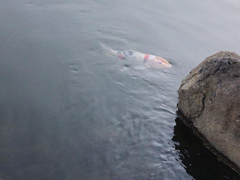 旧芝離宮恩賜庭園の大泉水の鯉